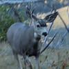 Mule deer at Yellowstone