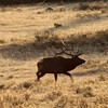 A bull elk bugling at Yellowstone National Park