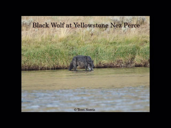 A black wolf drinking after feeding on an elk kills at Yellowstone