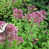 Eastern Tiger Swallowtails on Joe Pye Weed. <br /> Howard County Conservancy.
