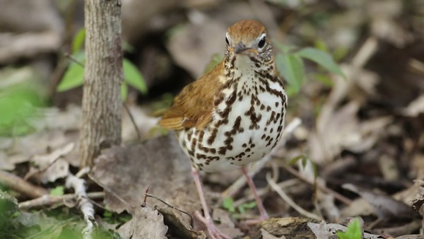 wood thrush singing 120A8157