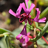 Red ribbons, Clarkia concinna