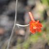 Scarlet delphinium