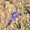 Delphinium, probably patens