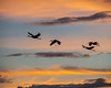Sandhill Cranes, morning flight
