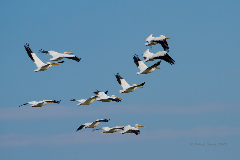 Family of White Pelicans climbing into formation