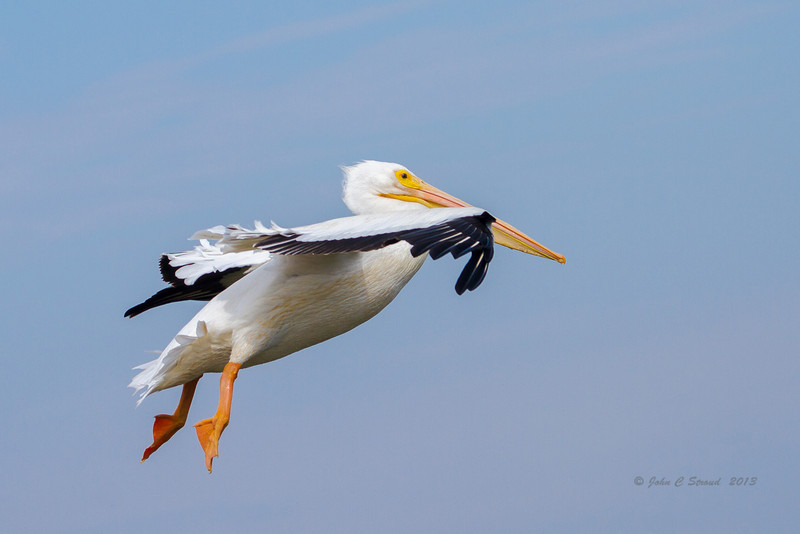 Same pelican gliding into position for a watery touchdown.............