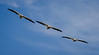 Threesome of White Pelicans perform a banking glide.