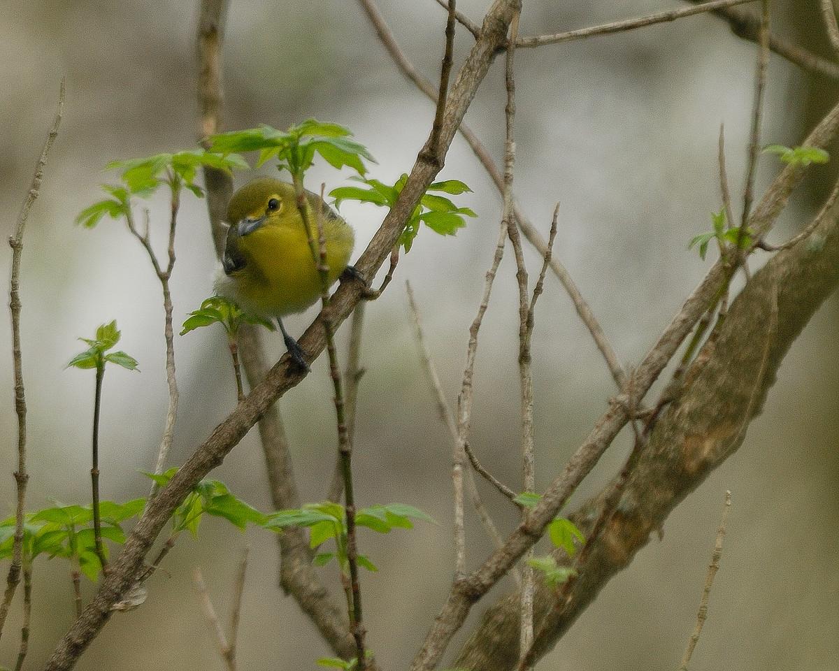 Yellow Throated Vireo 2008 04 19_Grindstone Creek NA_0982