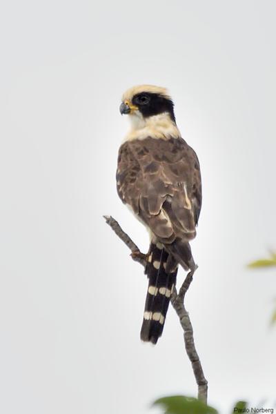 Herpetotheres cachinnans<br /> Acauã<br /> Laughing Falcon<br /> Guaicurú - Makagua