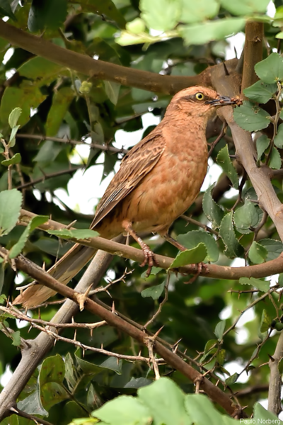 Mimus saturninus<br /> Sabiá-do-campo<br /> Chalk-browed Mockingbird<br /> Calandria - Guyra ñe'engatu