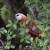 Busarellus nigricollis<br /> Gavião-belo<br /> Black-collared Hawk<br /> Gavilán de estero - Taguato akâtî