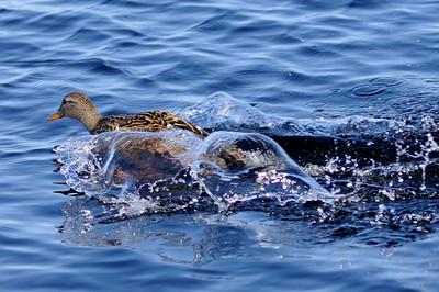 Gräsand landar i vatten