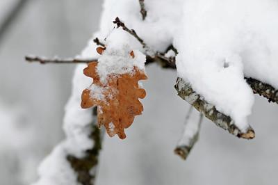 Eklöv i snö