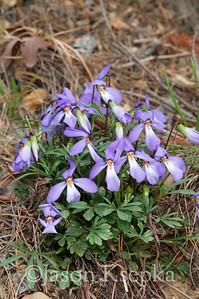 Viola pedata, Birdfoot Violet; Scott County, Arkansas  2011-03-20  #7