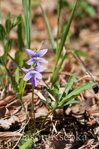 Viola brittoniana, coastal violet; Ocean County, New Jersey 2017-05-02   11