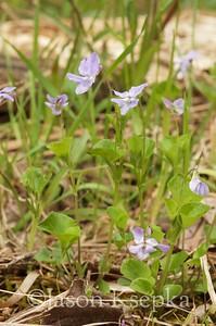 Viola labradorica, Labrador violet; Montgomery County, Pennsylvania 2017-04-30   2