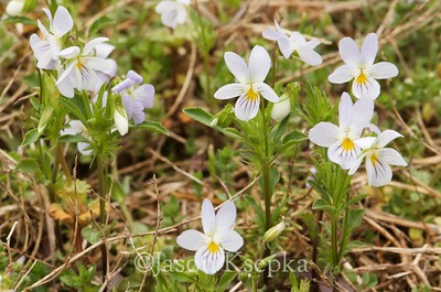 Viola bicolor, American field pansy; Bucks County, Pennsylvania 2017-04-24   4