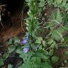 Great Blue Lobelia (Lobelia siphilitica)