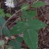 Hog-peanut (Amphicarpa bracteata)