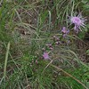 Grass-leaf Blazing (Star Liatris pilosa)