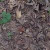 Round-leaf or Prostrate Tick-trefoil (Desmodium rotundifolium)