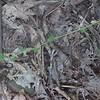 Hairy Small-leaf Tick-trefoil (Desmodium ciliare)