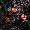 Cinnabar Chanterelle mushroom (Cantharellus cinnabarinus)
