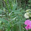 Perennial Sweet Pea (Lathyrus latifolius)
