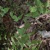Dittany (Cunila origanoides)
