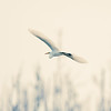 A white sky and white great egret