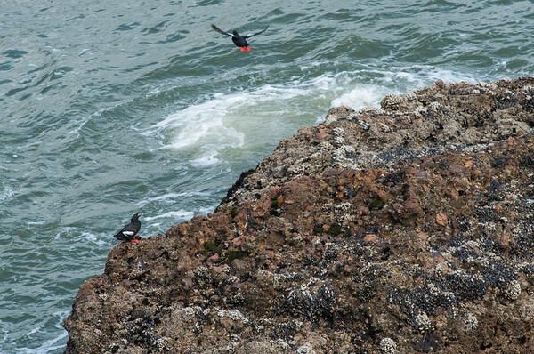 Pigeon Guillemots, Pigeon Point, Pescadero, California