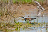 Ruddy Turnstone <br /> Ruddy Turnstone Chincoteague NWR Virginia