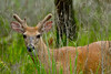 White-tailed Deer<br /> White-tailed Deer Chincoteague NWR Virginia