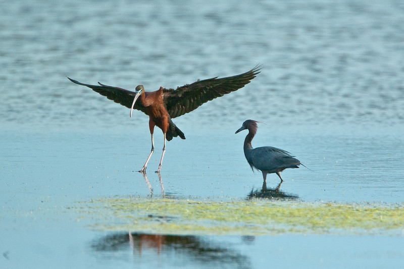 Glossy Ibis and Little Blue Heron<br /> Glossy Ibis and Little Blue Heron Chincoteague NWR Virginia