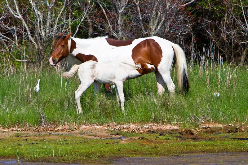 Feeding Time<br /> Chincoteague Wild Horses Chincoteague NWR Virginia