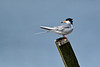 Forster's Tern<br /> Forster's Tern Chincoteague NWR Virginia