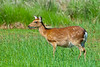Sika deer<br /> Sika deer Chincoteague NWR Virginia