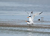 Royal Terns<br /> Royal Terns Mating Chincoteague NWR Virginia