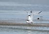Royal Terns<br /> Royal Terns Mating Chincoteague NWR Virginia