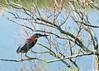Green Heron<br /> Green Heron Chincoteague NWR Virginia