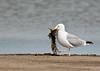 Herring Gull<br /> Herring Gull Chincoteague NWR Virginia