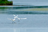Snowy Egret Squabble<br /> Snowy Egret Squabble Chincoteague NWR Virginia