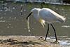 Snowy Egret with fish<br /> Snowy Egret with fish Chincoteague NWR Virginia