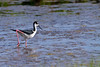 Black-necked Stilt<br /> Black-necked Stilt Chincoteague NWR Virginia