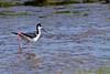 Black-necked Stilt<br /> Black-necked Stilt Chincoteague NWR Virginia