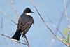 Eastern kingbird<br /> Eastern kingbird Chincoteague NWR Virginia
