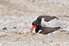 Oystercatchers on Nest<br /> Nesting Oystercatchers Chincoteague NWR Virginia