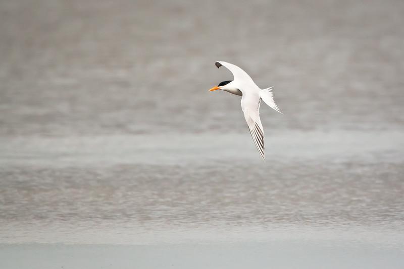 Royal Tern <br /> Royal Tern Chincoteague NWR Virginia
