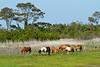 Wild Horse Herd<br /> Chincoteague Wild Horses Chincoteague NWR Virginia